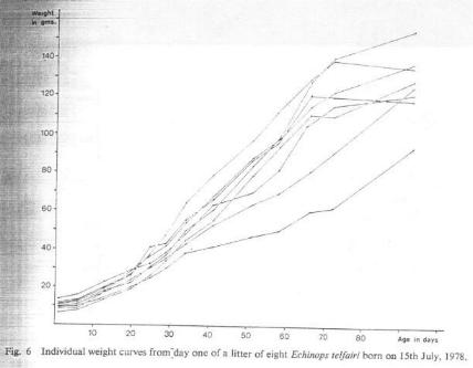 Fig. 6   Individual weight curves from day one of a litter of eight Echinops telfairi born on 15th July, 1978.
